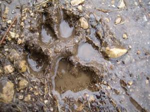 muddy paw print